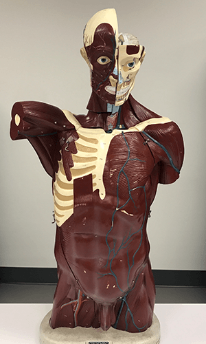 3D Anatomy Model with Removable Organs