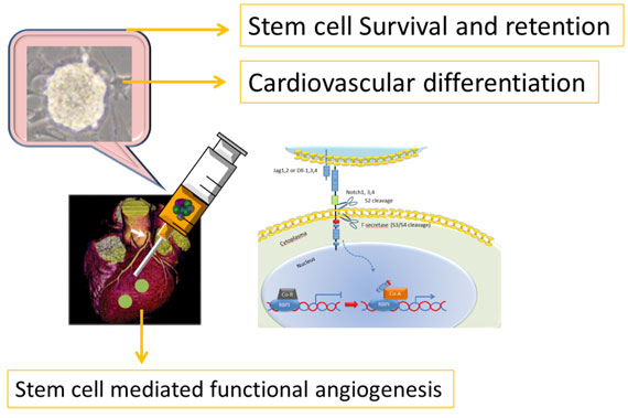 Stem cell mediated functional angiogenesis