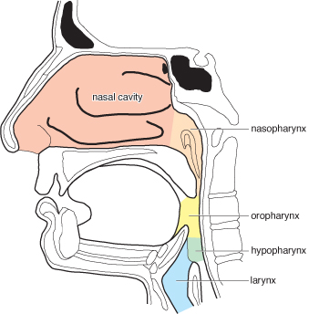 Selner\'s Rhinolaryngoscopy Online Chapter 3. NORMAL ANATOMY OF THE ...